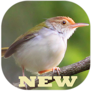 app master kicau burung prenjak apk for windows phone