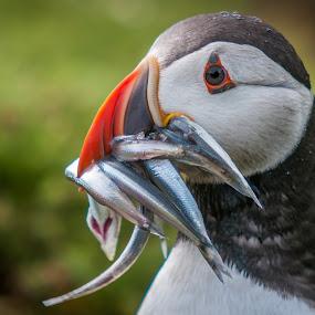 Lunch by Darren Whiteley - Animals Birds ( colour, bird, food, fish, close up, skomer isalnd, puffin )
