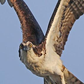 Flying at you!! by Anthony Goldman - Animals Birds ( bird, flight, wild, predator, eye contact, odprey, tampa,  )
