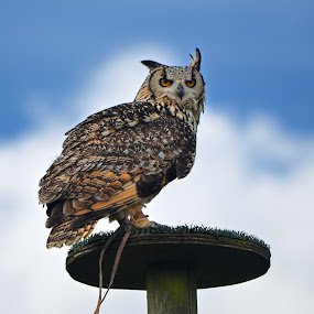 African Eagle Owl by Becky Wheller - Animals Birds ( bird, african eagle owl.owl, animal, brid of prey )