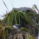 Great Blue Heron (with Anhinga)
