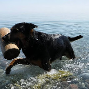 Jaws by Anthony Carlo - Animals - Dogs Playing (  )