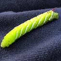 Carolina Sphinx Moth caterpillar (Tobacco Hornworm)