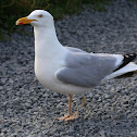 European Herring Gull (var omissus)