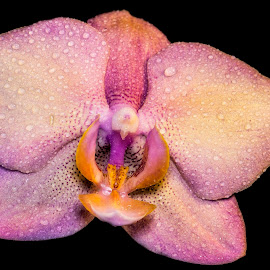 Pink Orchid by Heather Campbell - Flowers Single Flower ( black background, water drops, macro, nature, orchid, single flower, pink, yellow, close up, bright colors, flower,  )