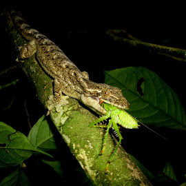 Gecko eating by Herpeto Fauna - Animals Reptiles ( gecko, eating, insect, reptile )