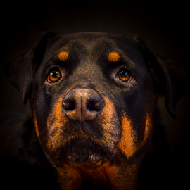 Ruby by Udo Weber - Animals - Dogs Portraits ( warmth, loyalty, dog, close up, portrait, eyes, rottweiler )