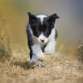 I'm a Puppy :) by Claudio Piccoli - Animals - Dogs Running ( dogsinaction, dogs, border collie, action, puppy, run, dog, running, doginaction )