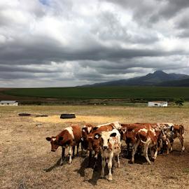 Swellendam by Martha van der Westhuizen - Landscapes Prairies, Meadows & Fields ( clouds, farm, mountains, farmfields, swellendam, group, huddling, cows, travel picture, livestock, western cape,  )