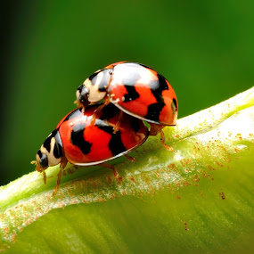 Loving Ladybird by Ramlan Abdul Jalil - Animals Insects & Spiders