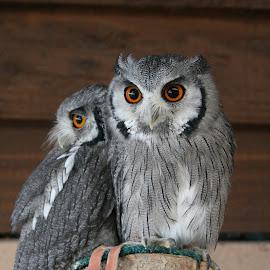 Farm Owls by Nicola Bake - Novices Only Wildlife ( farm, orange, animals, birds, owls, eyes )
