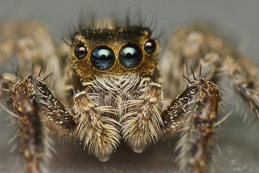 Blue Diamond Eyes by Marcus Kam - Animals Insects & Spiders ( macro )