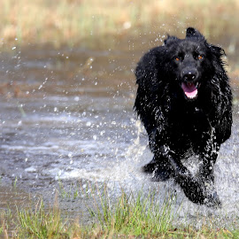 DYNAMIC WATER I by Ann Higuet - Animals - Dogs Running ( playing, water, animals, dogs, running,  )