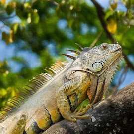 Iguana by John Pounder - Animals Reptiles ( lizard, tree, mexico, green, iguana, reptile )
