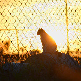 Cat in Habitat by Pierre Valdez - Animals - Cats Playing ( urban, fencing, cat, framing, lighting, silhouette, sun )