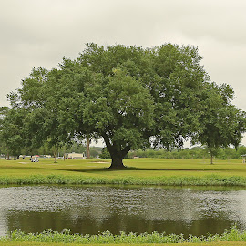 Louisiana Live Oak Tree on the pond by Ron Olivier - Landscapes Waterscapes ( louisiana live oak tree on the pond )