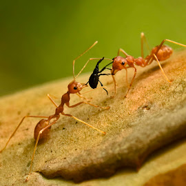 Ants n Weevil by Prasad Dalvi - Nature Up Close Other Natural Objects ( nature, ants, weevil )