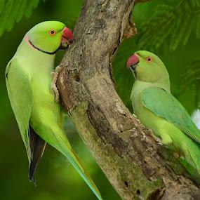 Rose-ringed Parakeet by Maroof Rana - Animals Birds ( bird, tree, nature, green, wildlife, birds )