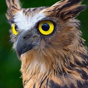 OWL by AbngFaisal Ami - Animals Birds (  )