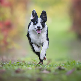 Happiness by Claudio Piccoli - Animals - Dogs Running ( border collie, happy, pet, happiness, puppy, dog, bokeh, running )