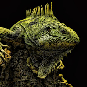 Green Iguana by John Larson - Animals Reptiles ( nature, green, color, food, concept, , colors, landscape, portrait, object, filter forge )