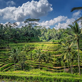 Tegallalang Rice Terraces in Bali by Sam Song - Uncategorized All Uncategorized ( bali, paddy field, rice, tegallalang, indonesia, padi )