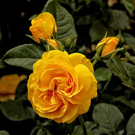 GOR rose 113 16 by Michael Moore - Flowers Flower Gardens (  )