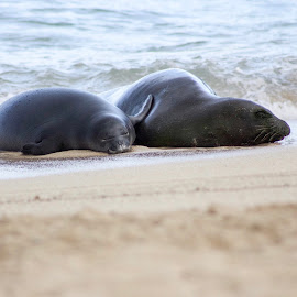 Rocky & Kaimana  by Michael Guerrero - Animals Sea Creatures ( hawaiian monk seals, waikiki beach, surf )