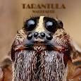 Tarantula Spider Animal Wallpaper