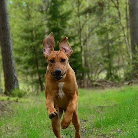Jumping ridgeback  by Cecilia Hjärtmyr - Animals - Dogs Puppies ( rhodesian ridgeback liondog dog jumping forrest trees stick nature landscape sweden stockholm )