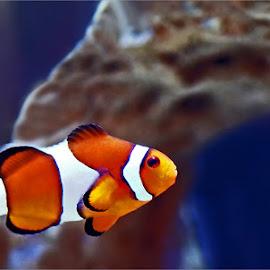 clown nemo by Leon Pelser - Animals Fish ( f 2.8, daylight wb, tripod, 1/15, iso 400,  )