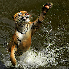Reaching Out by Jeffry Surianto - Animals Other Mammals ( tiger, animal )