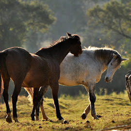 Horses, Chimanimani by Ian Harvey-Brown - Animals Horses