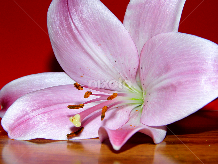 Pink Lily by Lorie  Carpenter  - Nature Up Close Flowers - 2011-2013 ( red, nature, lily, pink, flower )