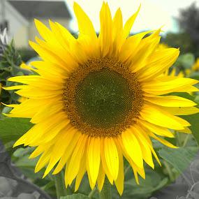 by Mike Tricker - Flowers Single Flower ( single flower, sunflowers, happy, sunflower,  )
