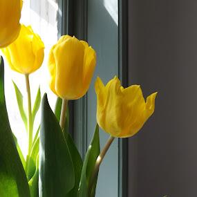 Yellow Tulips by Barbara Storey - Flowers Flower Arangements ( arrangement, window, yellow, tulips, flowers, spring,  )