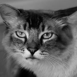 Mad Cat by Karoner Gaming - Animals - Cats Portraits ( mad cat, animakls, animal, animals, photography )