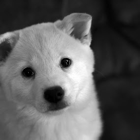 Shiba Inu Puppy by Aaron St Clair - Animals - Dogs Puppies ( shiba, white, inu, puppy, cute, pretty )