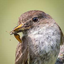 Eastern Phoebe by Rico Forlini - Animals Birds ( bird, nature, wildlife, nature up close, eastern phoebe, bird photography, birding )