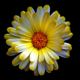 Calendula by Asif Bora - Instagram & Mobile Other (  )