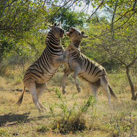 Zebras Fighting by Craig Powell - Animals Other Mammals ( mammals, wild, nature, animals in the wild, south africa, wildlife, natural world, hluhluwe-imfolozi )
