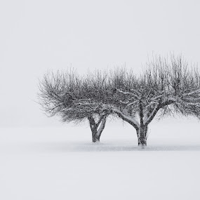 Two Trees by John  Pemberton - Black & White Landscapes ( peaceful, winter, nature, serenity, snow, silence, snowy, trees, minimalist,  )