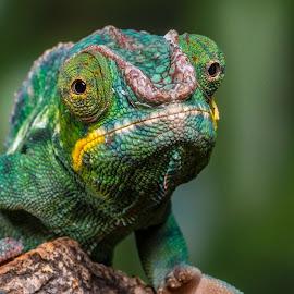 Chameleon by Garry Chisholm - Animals Reptiles ( lizard, reptile, chameleon )