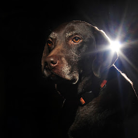 The Star by Maria Dimitrova - Animals - Dogs Portraits ( german shorthaired pointer, star, shine, dog, portrait, gsp )