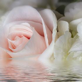PinkRose-5359-water.jpg