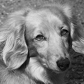 Mono Jamie by Chrissie Barrow - Black & White Animals ( monochrome, black and white, dachshund (miniature long haired), pet, ears, fur, grey, dog, mono, nose, portrait, eyes, animal )