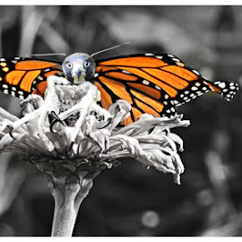 Butterfly Composite  by Lorraine D.  Heaney - Animals Other