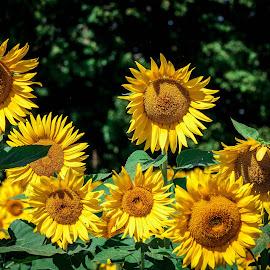 Sunflower Field by Ann Day - Landscapes Prairies, Meadows & Fields ( field, wild, sunflower, yellow, landscape, flower )