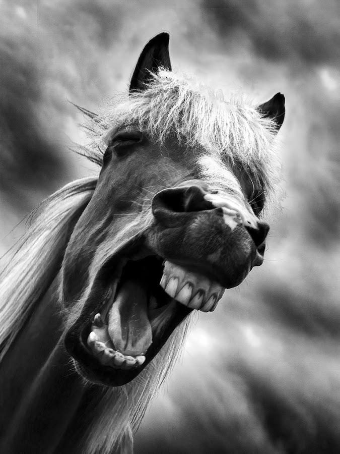 Laughing horse :) by Páll Jökull Pétursson - Animals Horses ( b/w, laughing, iceland, tennur, svarthvít, haust, horse, ísland, hestur, hlægjandi, animal )