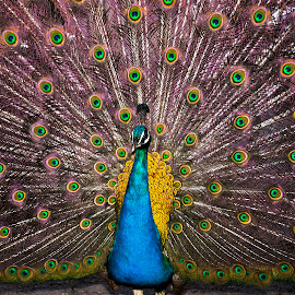 Peacock Portrait by Giorgos Makropoulos - Animals Birds ( wild animal, bird, blue, color, peacock )